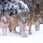 Farkas-Szurke-farkas-falka_imagelarge
