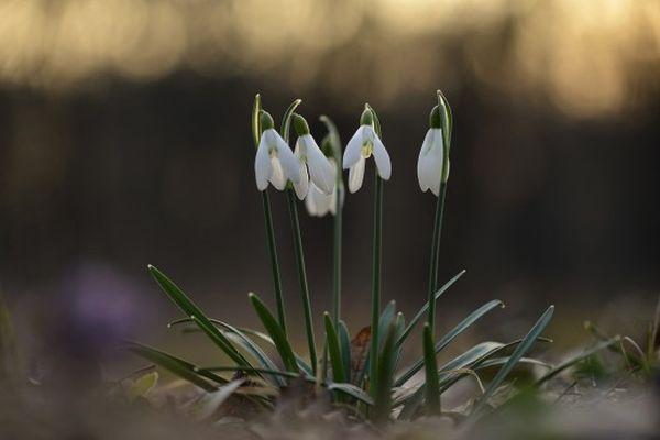 Hóvirág - Fotó: Vajda Bertalan
