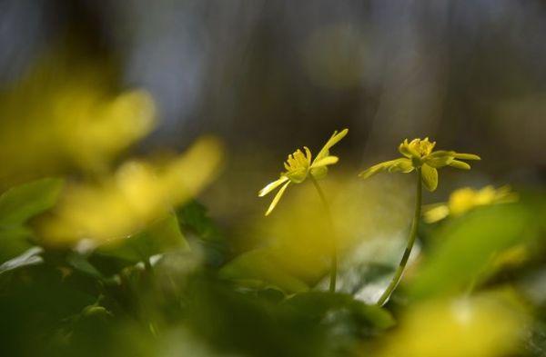 Salátaboglárka - Fotó: Vajda Bertalan