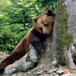 szekely_medve