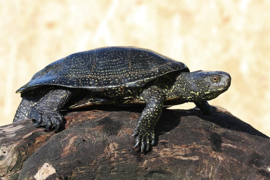 Mocsári teknős (fotó: Csonka Péter)