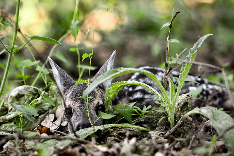 Elfektetett őzgida (fotós: Blaumann Ödön)