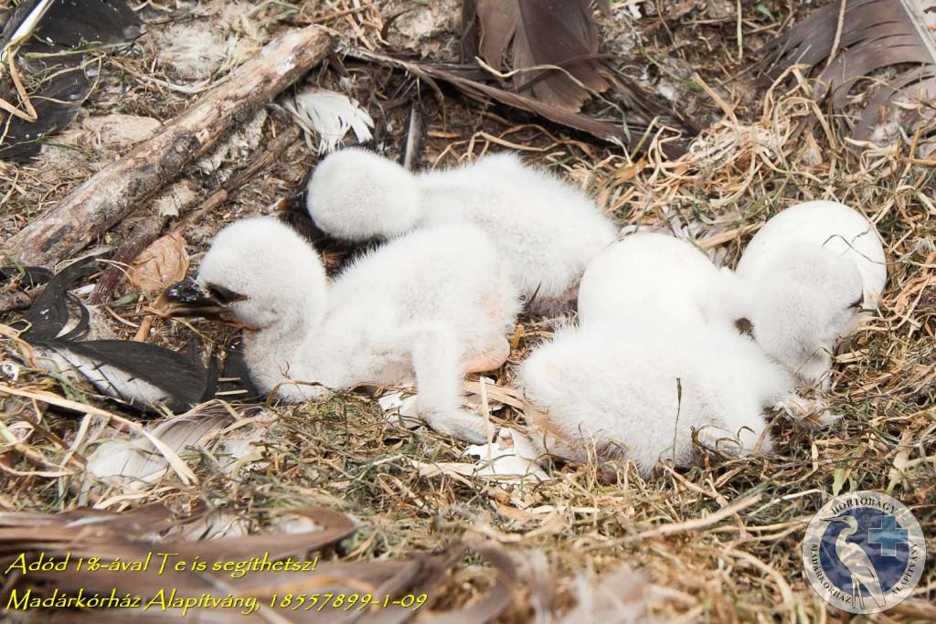 (Kikeltek az első kis gólyák a parkban. Forrás: madarpark.hu)
