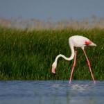 rozsas_flamingo_kiskunsag