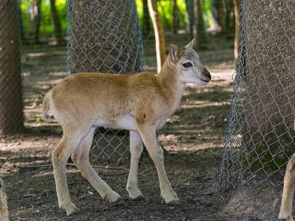 European mouflon (Ovis aries musimon) lamb in a forest