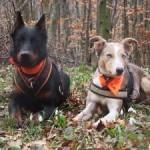 A narancs (kar)szalag viselése a kutyák érdeke!