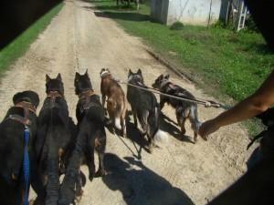 2 ember vezet 6 kutyát, nem lehetetlen, csak fegyelmezés kérdése