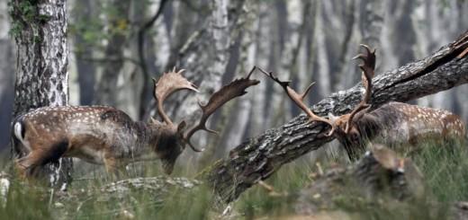 Dámszarvas (Dama dama) bika egy tehenet borít a SEFAG Zrt. barcsi erdészetének területén. - MTI Fotó: Kovács Attila