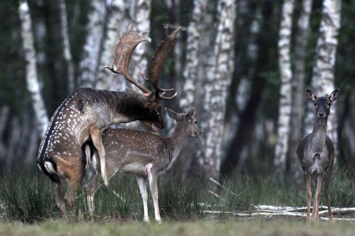Dámszarvas (Dama dama) bikák verekszenek a SEFAG Zrt. barcsi erdészetének területén. - MTI Fotó: Kovács Attila