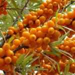 ripe sea buckthorn berries (Hippophae rhamnoides) on the branch
