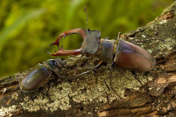Nőstény (balra) és hím (jobbra) nagy szarvasbogár (fotó: Somay László)