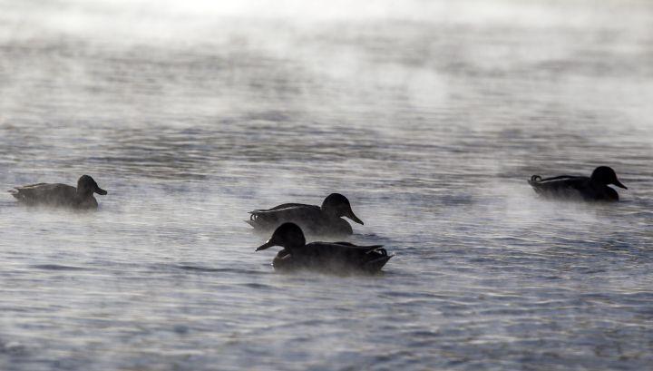 Vadkacsák a Városligeti-tó gõzölgõ vizén 2017. január 6-án - MTI Fotó: Szigetváry Zsolt