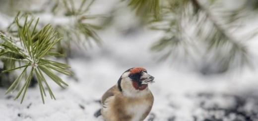 Egy tengelic (Carduelis carduelis) a Novohrad-Nógrád Geopark salgótarjáni madárlesébõl fotózva - MTI Fotó: Komka Péter