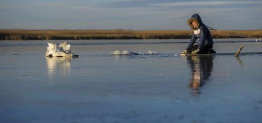 Hattyút mentettek a Tisza-tó jegérõl