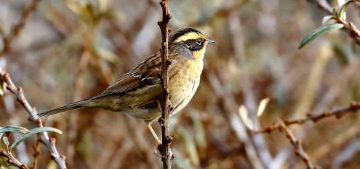 Magyarország legújabb madárfaja, a szibériai szürkebegy (Fotó: Orbán Zoltán).