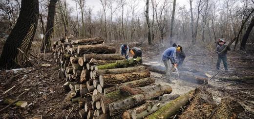 Debrecen, 2013. január 21. Munkások fát vágnak láncfűrésszel a debreceni Nagyerdőben 2013. január 21-én. Megszabadítják a nem őshonos fáktól a debreceni Nagyerdő egy részét a Nyírerdő Zrt. Debreceni Erdészetének munkatársai. Másfél hektáron az invazív egyedeket vágják ki: akác, nyugati ostorfa és kései meggy kitermelésére kerül sor. Tavasszal a területet felújítják őshonos fafajokkal: hazai nyár, ezüst hárs, nyír és korai juhar kerül majd ezen területre. MTI Fotó: Czeglédi Zsolt
