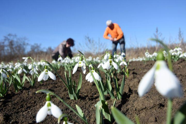 Heller Lídia és Czakó János szedik a hóvirágot (Galanthus nivalis) Kunszentmárton határában lévő földjükön 2017. március 3-án - MTI Fotó: Mészáros János