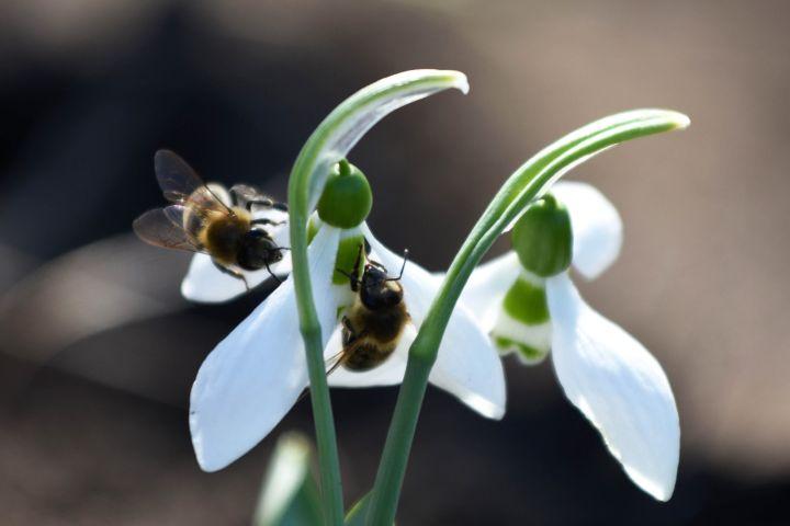 Kunszentmárton, 2017. március 3. Hóvirág (Galanthus nivalis) Czakó János Kunszentmárton határában lévõ földjén 2017. március 3-án. A hóvirág egyedeinek termesztését és adásvételét engedélyezte a Közép-Tisza-Vidéki Környezetvédelmi és Természetvédelmi Felügyelõség. Az õstermelõ Czakó János a kertjükben szaporított több ezer darab virághagymát ültette el a város határában lévõ földjén, a virágokat az engedély bemutatásával árulják a vevõknek a piacon. MTI Fotó: Mészáros János