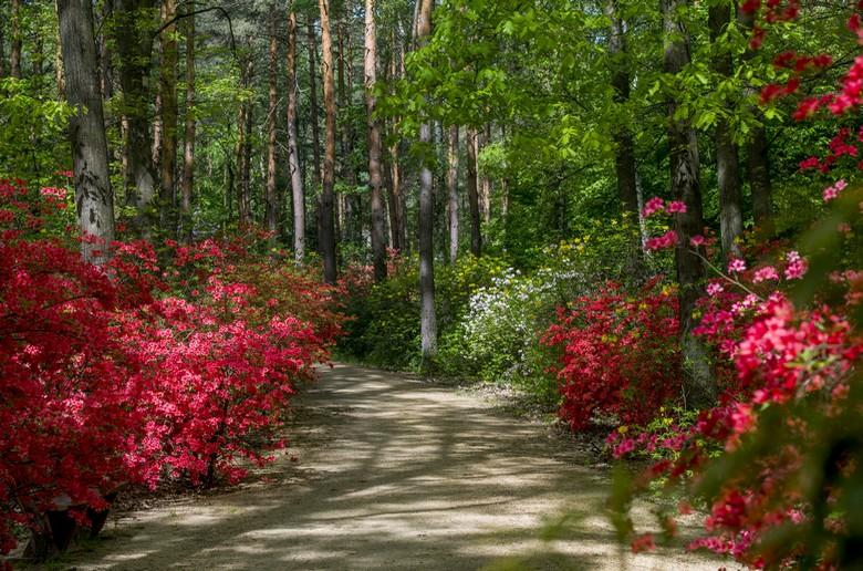 Jeli Arborétum, Szombathelyi Erdészet, rododendron