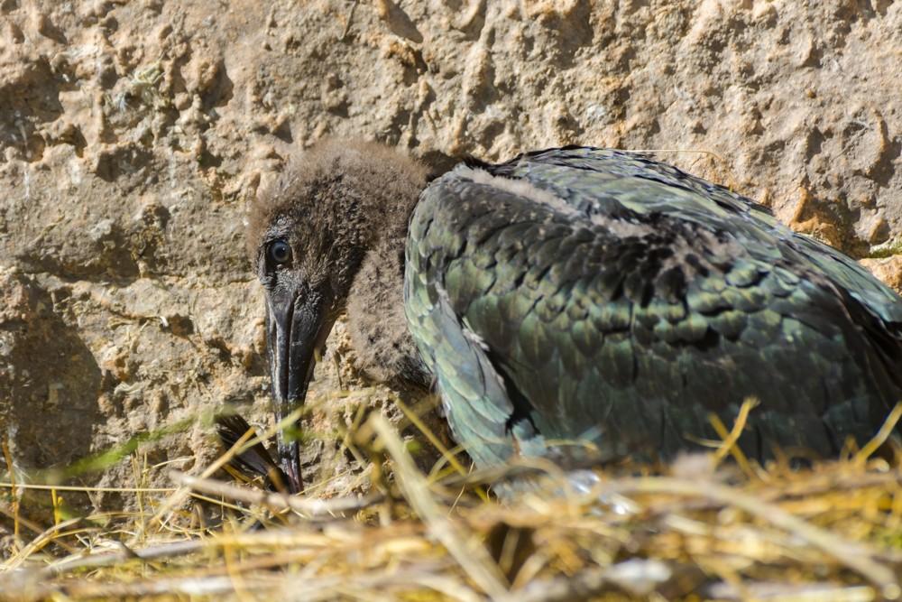Northern bald ibis or waldrapp - Geronticus eremita - nestling